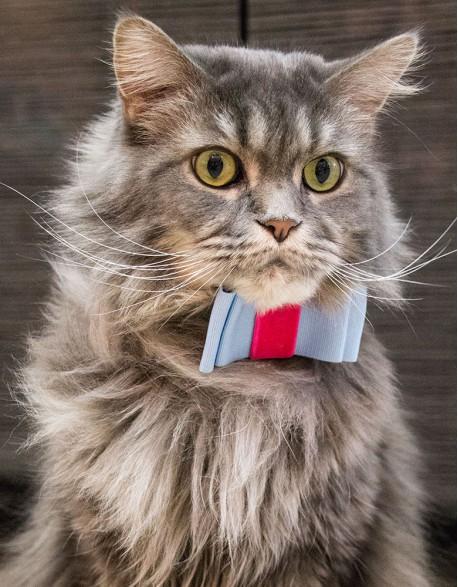 Obroża dla kota - błekitna kokardka na szarości